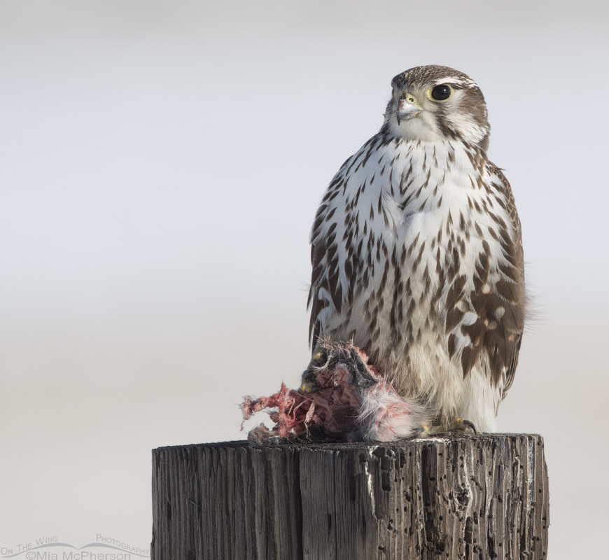 Prairie Falcon with prey on a wooden post