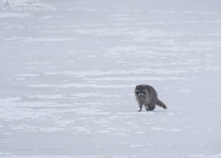 Raccoon on ice