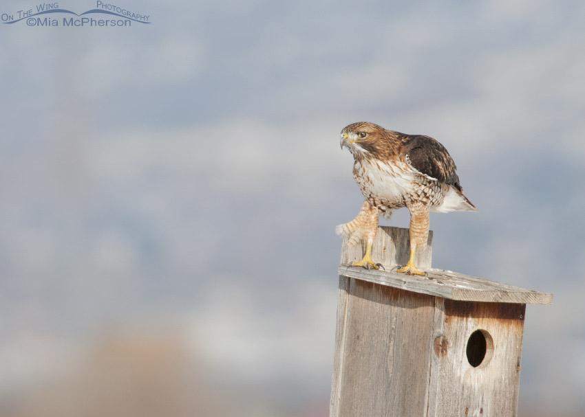 Sub-adult Red-tailed Hawk on a nest box at Farmington Bay