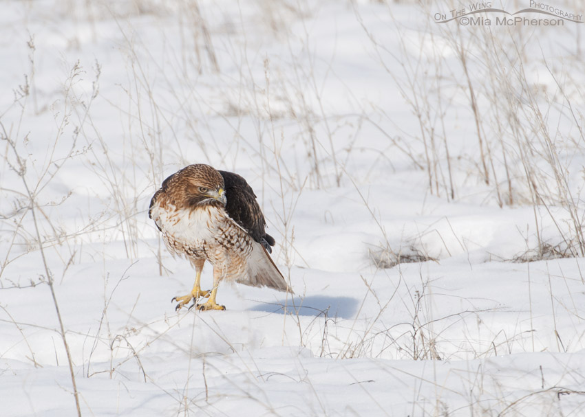 Sub-adult Red-tailed Hawk on a snowy field