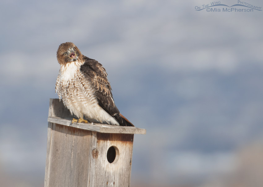 Sub-adult Red-tailed Hawk yawning on a nest box