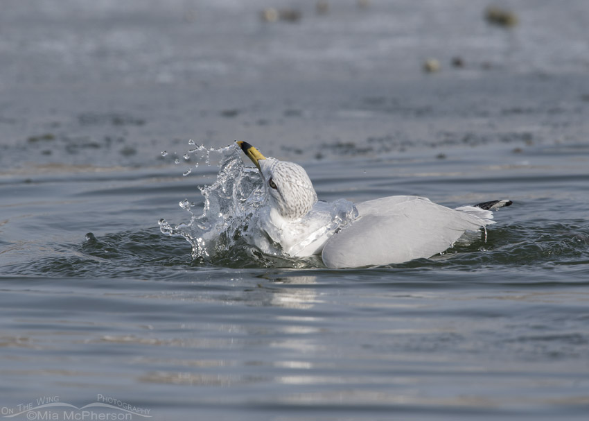 Ring-billed Gull bathing in an icy pond