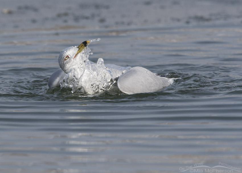 Ring-billed Gull bathing in winter