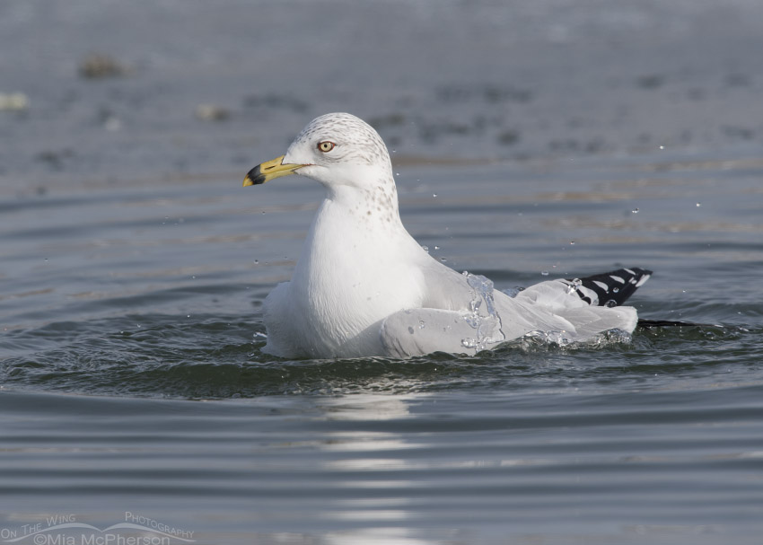 Ring-billed Gull bathing on New Year's Day