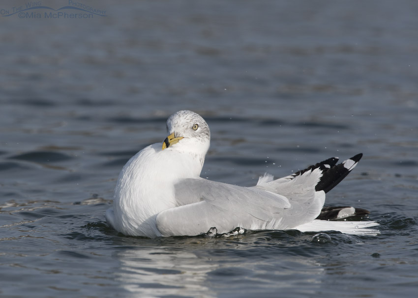 Bathing Ring-billed Gull in winter – Mia McPherson\'s On The Wing ...