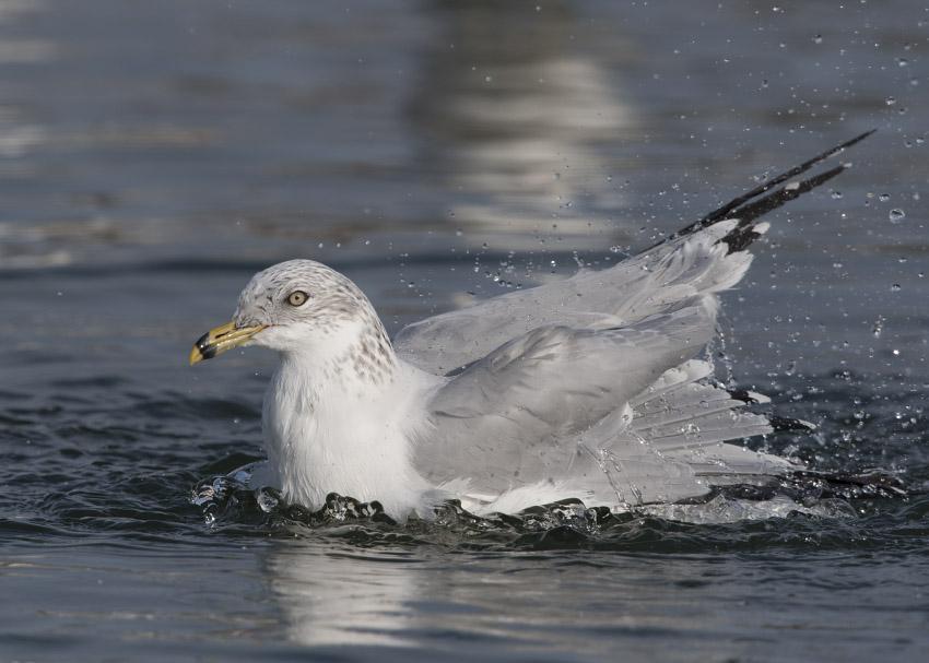 Ring-billed Gull splashing during bathing
