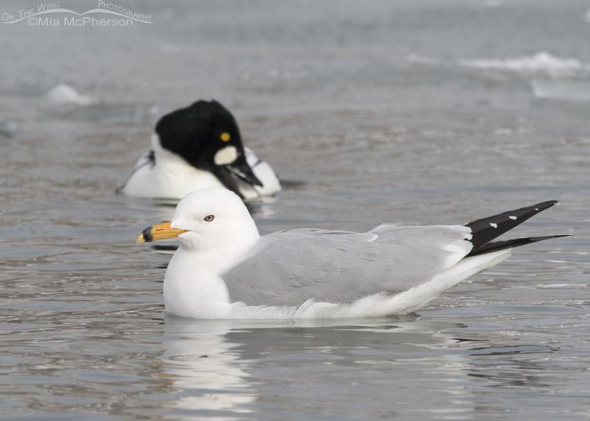 Ring-billed Gull in Definitive Alternate Plumage
