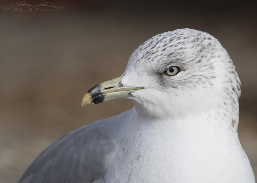 Ring-billed Gull portrait in Definitive Basic Plumage
