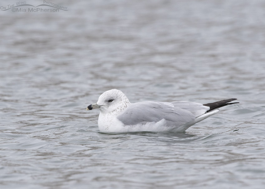 Resting Ring-billed Gull in Definitive Basic Plumage