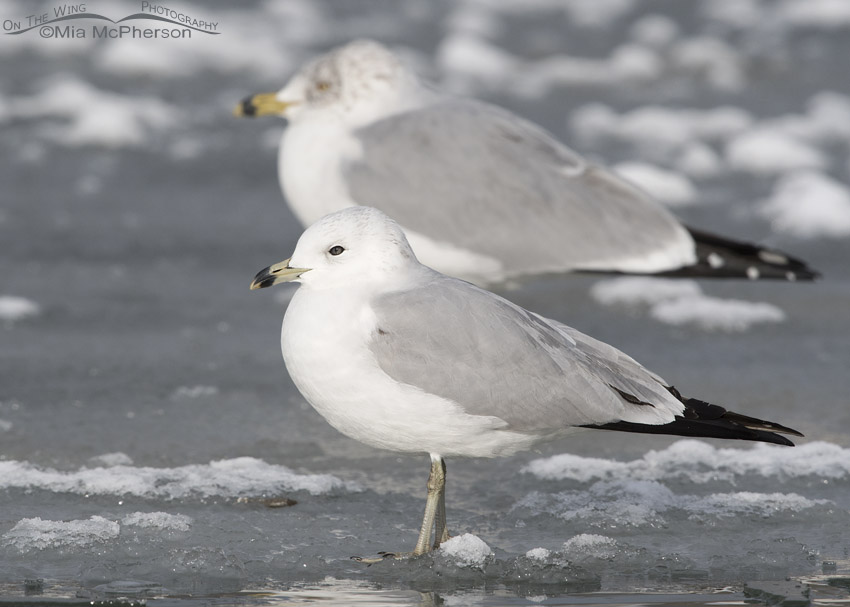 Runty Ring-billed Gull on ice