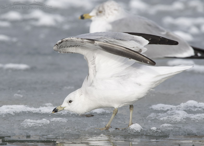 Runty Ring-billed Gull stretching