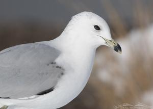 Runty 2nd winter Ring-billed Gull portrait