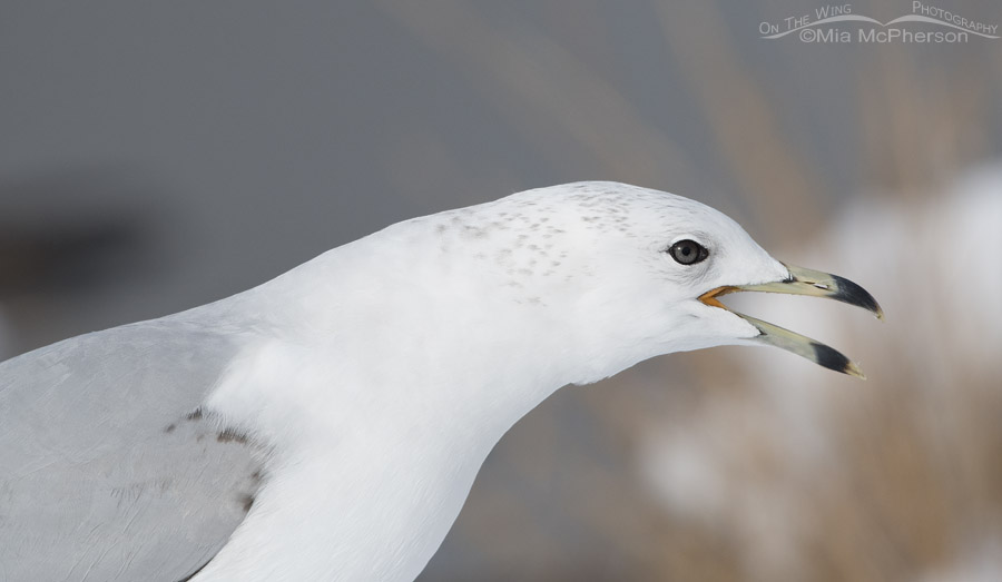 Runty Second Winter Ring-billed Gull calling