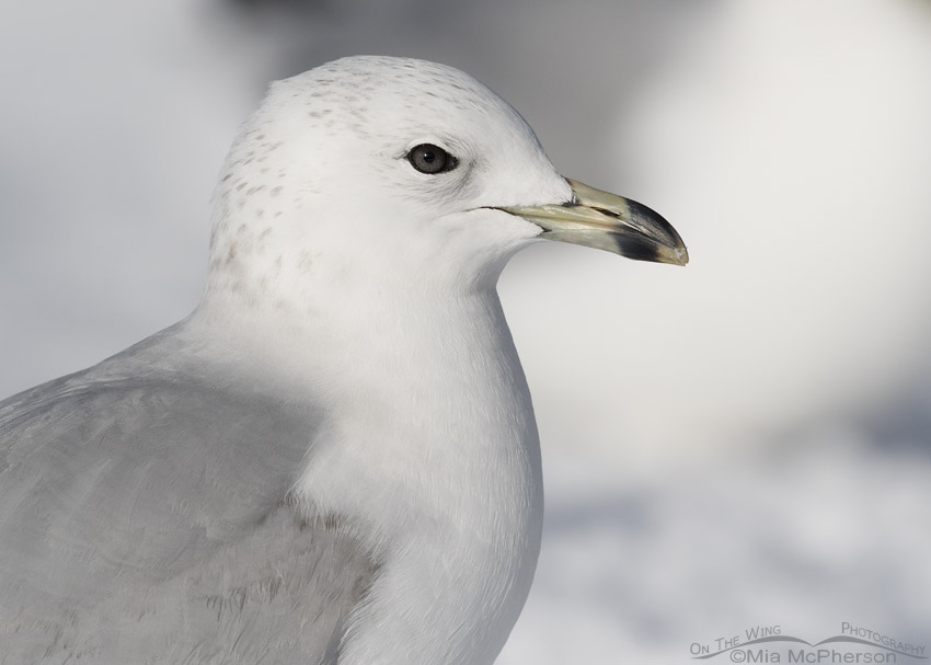 Portrait of a runty 2nd Winter Ring-billed Gull