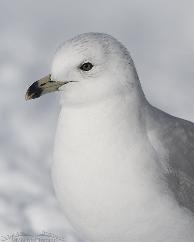 Runty Second Winter Ring-billed Gull close up