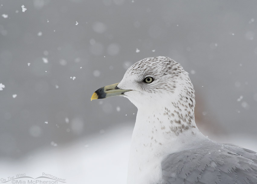 Snowy Ring-billed Gull portrait