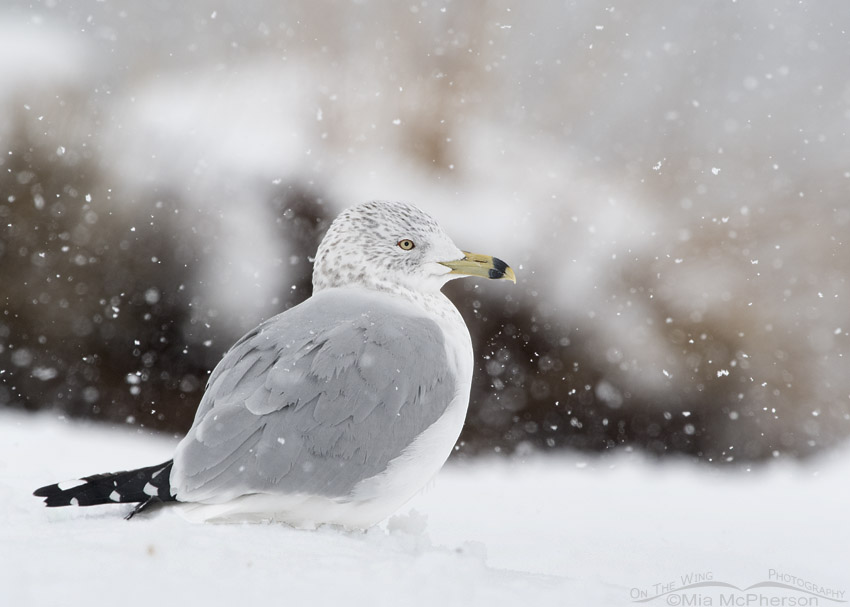Ring-billed Gull in a snow storm