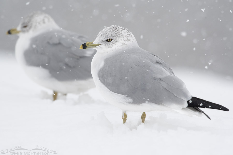 Ring-billed Gulls in a snow storm
