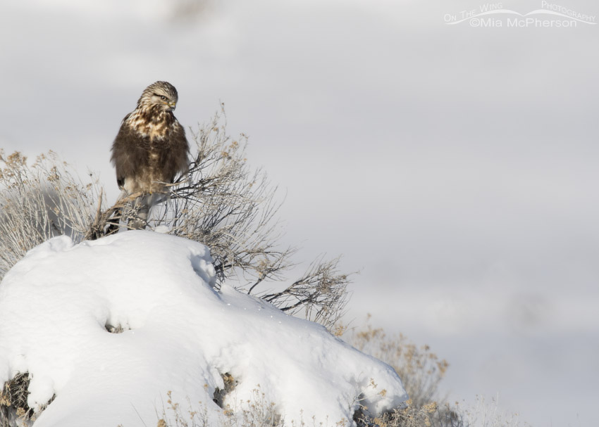 Rough-legged Hawk on a snow-covered hill