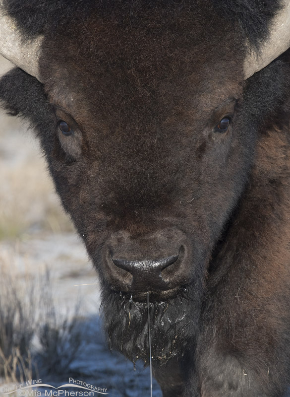 Bison bull close up while drinking water