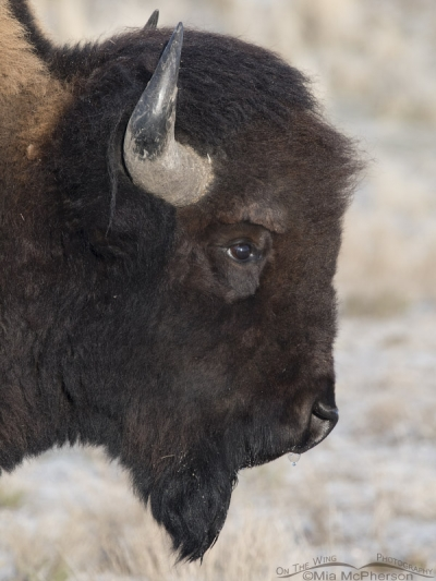 Bison bull headshot during winter