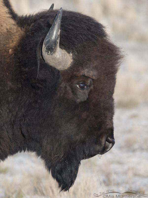 Bison bull headshot during winter