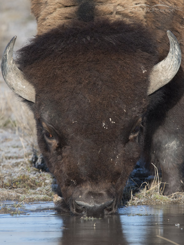 Bison bull drinking from and iced over puddle