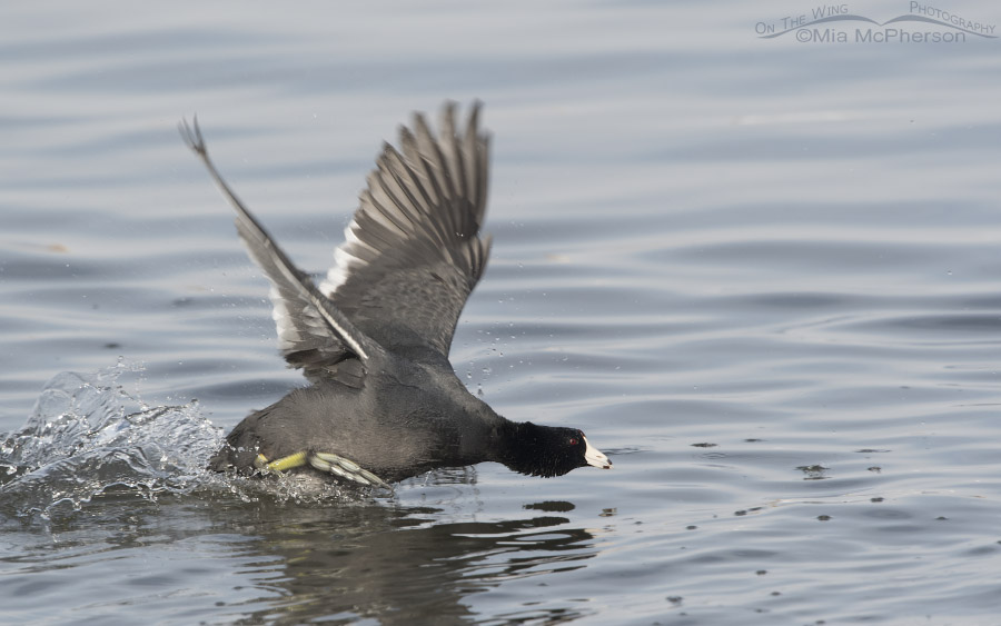 American Coot with water droplets flying