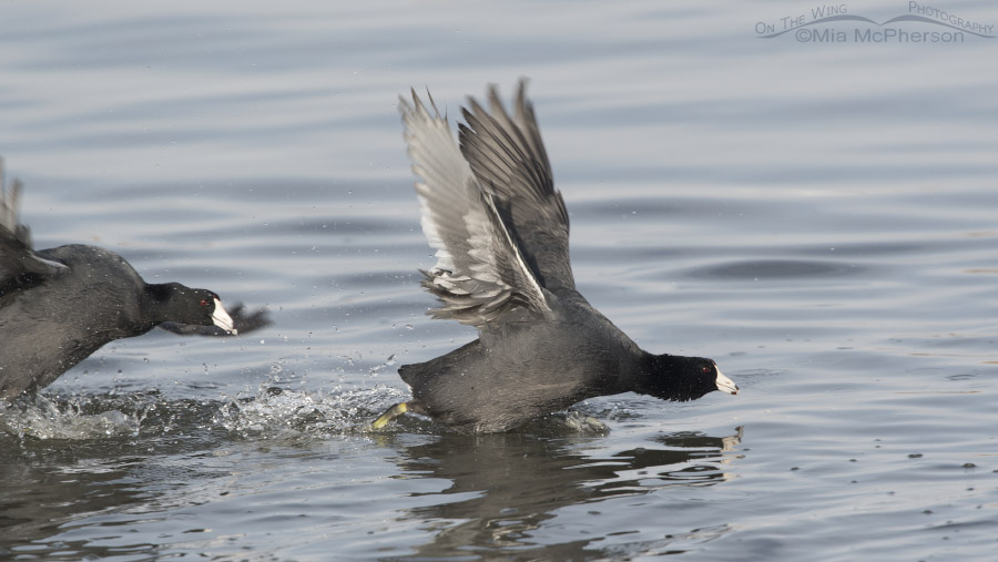 One American Coot chasing another coot