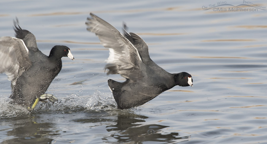 American Coot about to overtake the other coot