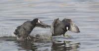 American Coots running on the water