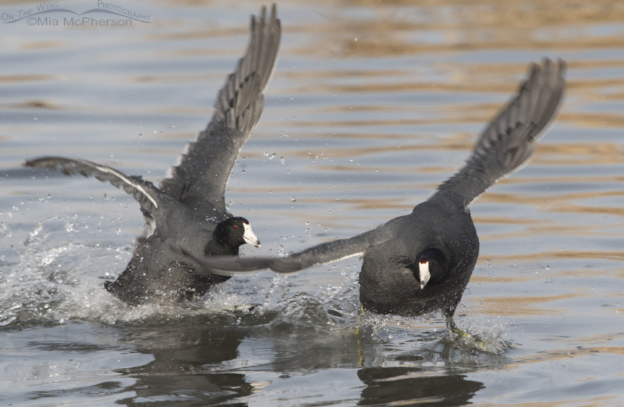 One American Coot turns during the chase