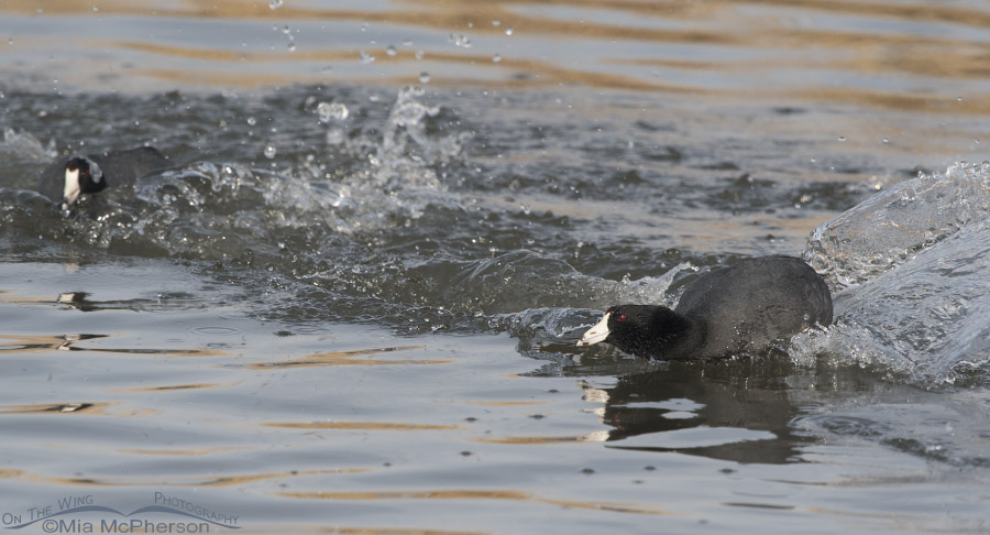 End of an American Coot chase