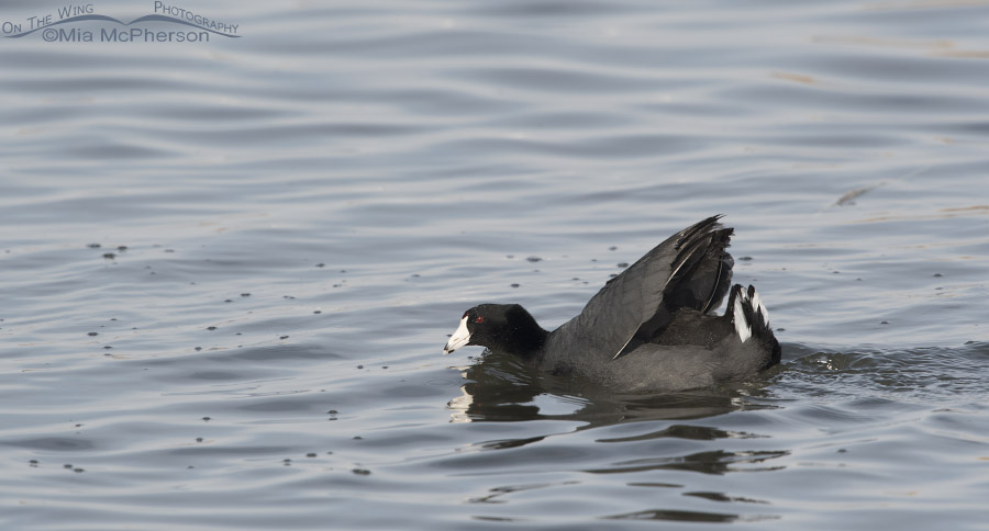 American Coots displaying under tail coverts