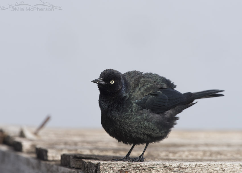 Fluffed up male Brewer's Blackbird