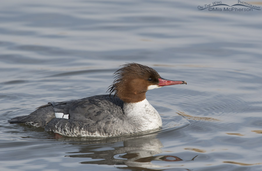 Common Merganser on icy blue water