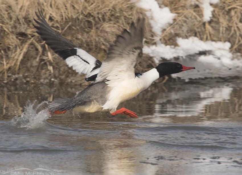 Drake Common Merganser taking off