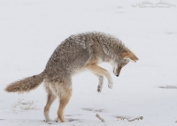 Coyote about to pounce on a vole