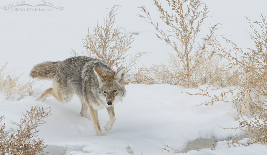 Coyote hunting on the snow covered lake bed