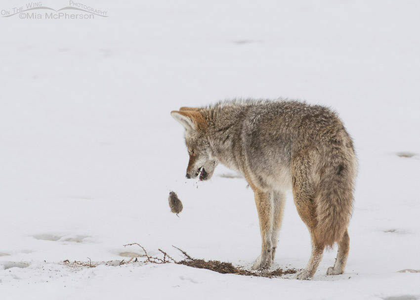 Coyote dropping a vole