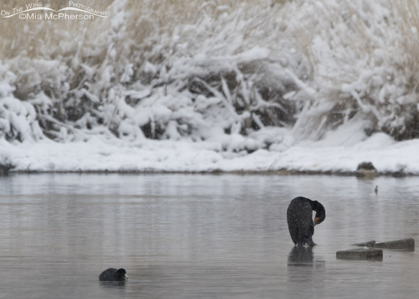 Double-crested Cormorant and American Coot in snow