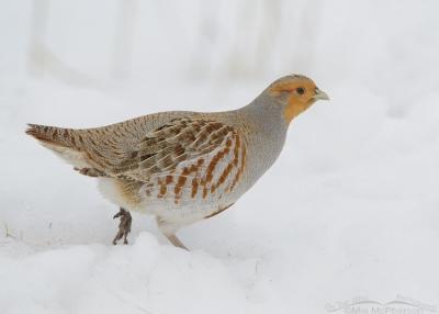 Low light Gray Partridge in snow