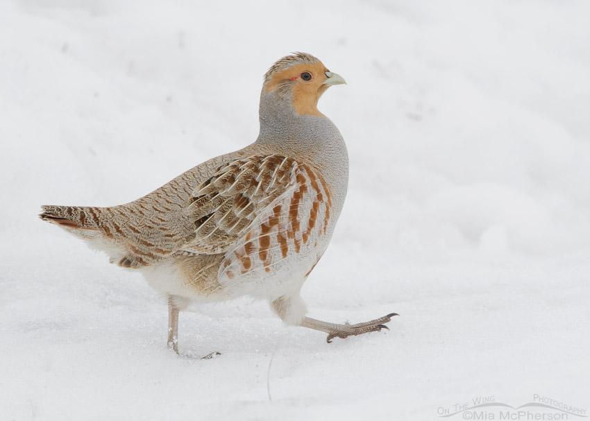 Gray Partridge walking in snow