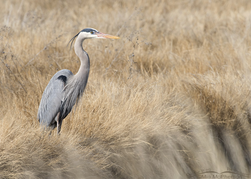 Great Blue Heron in the marsh at Bear River MBR