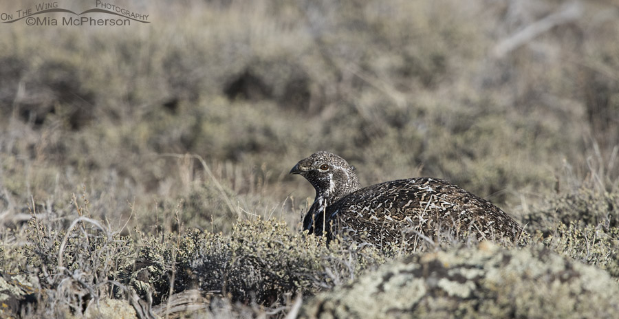 Nearly hidden Greater Sage-Grouse in a high sagebrush steppe