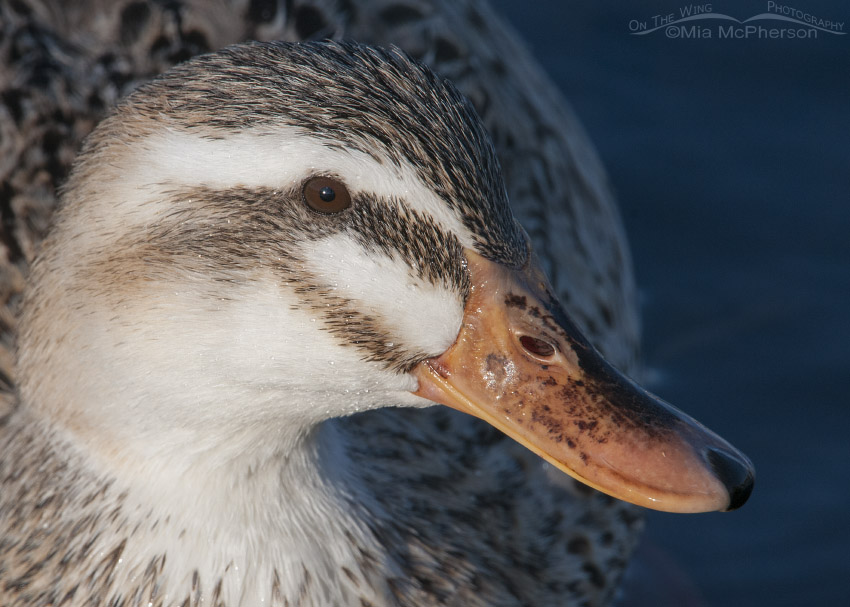 Light colored Mallard hybrid portrait