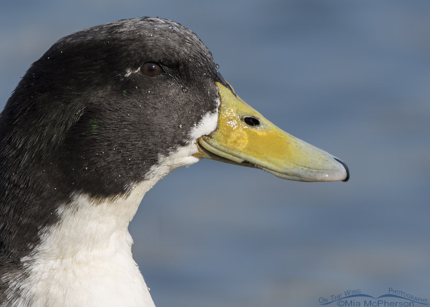 Dark headed Mallard portrait