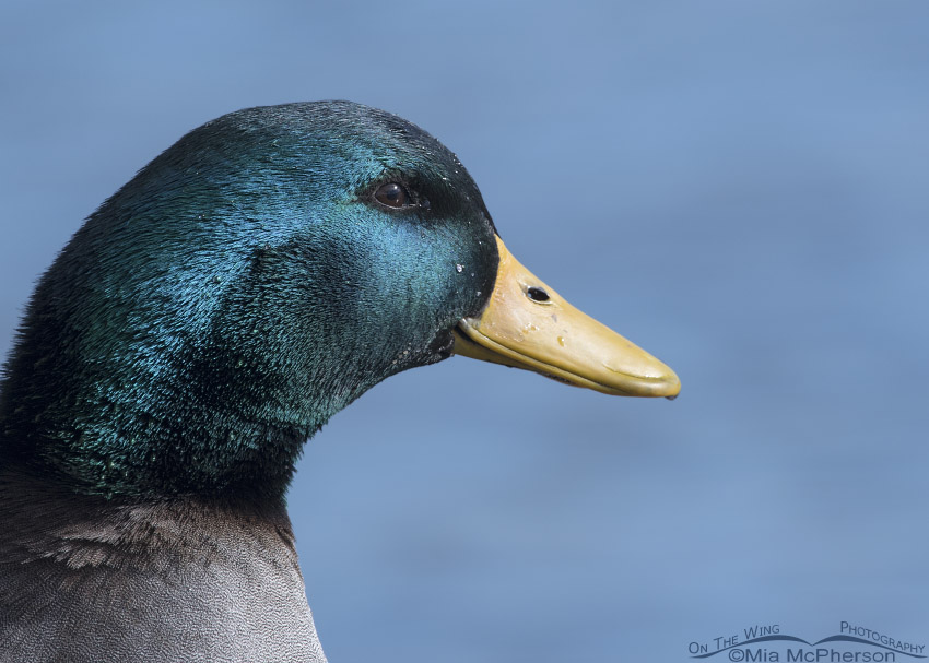 Male Mallard hybrid portrait