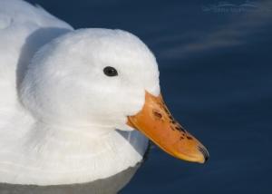 Pekin Duck portrait