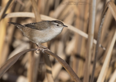 Marsh Wren on a November morning